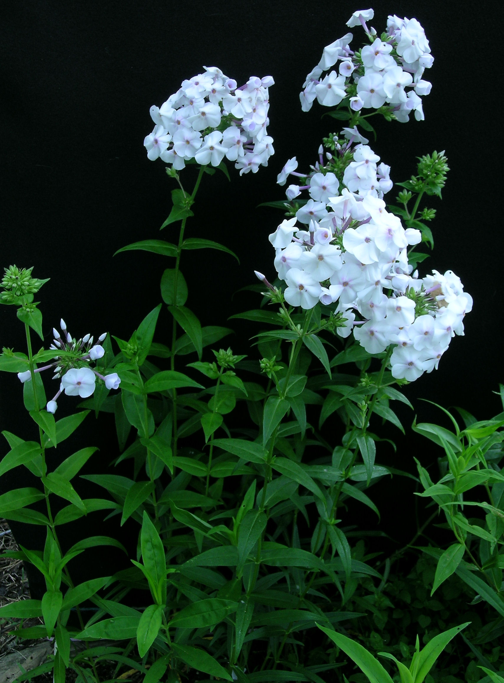 Phlox 'Daughter of Pearl'
