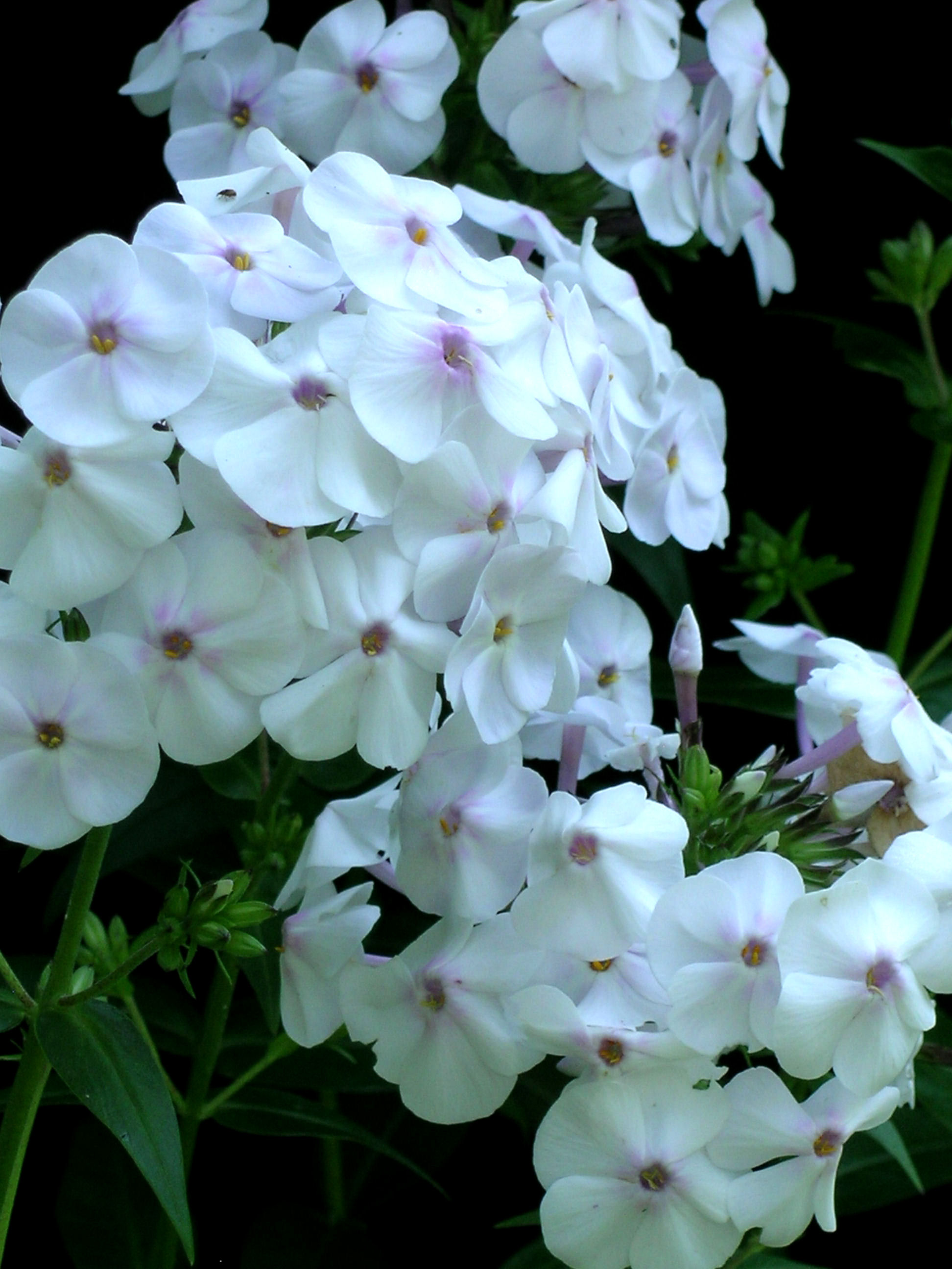 Phlox 'Daughter of Pearl' closeup