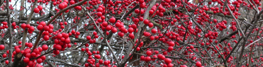 Winterberry Holly at The Primrose Path
