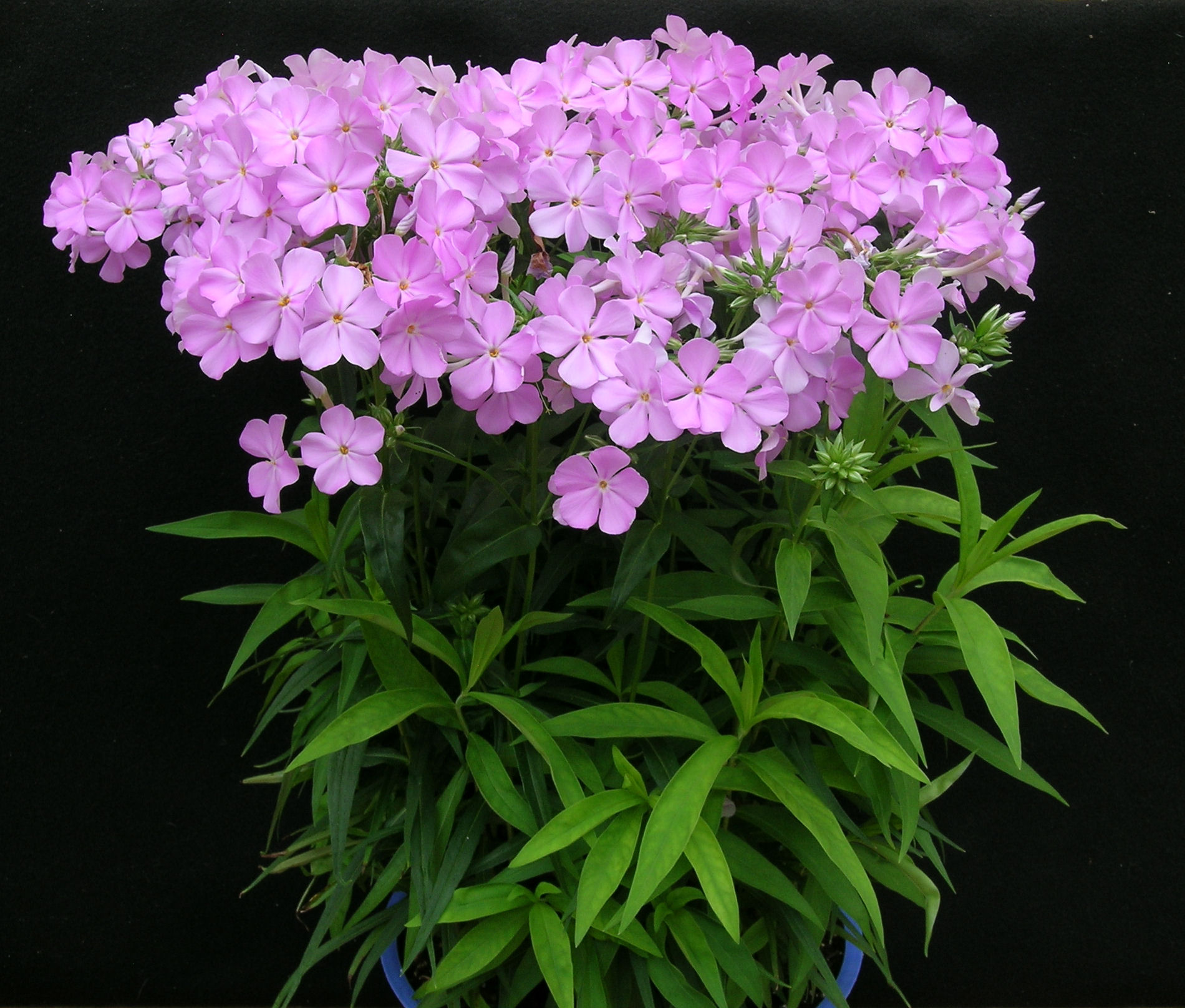 Phlox 'Rose Bouquet'