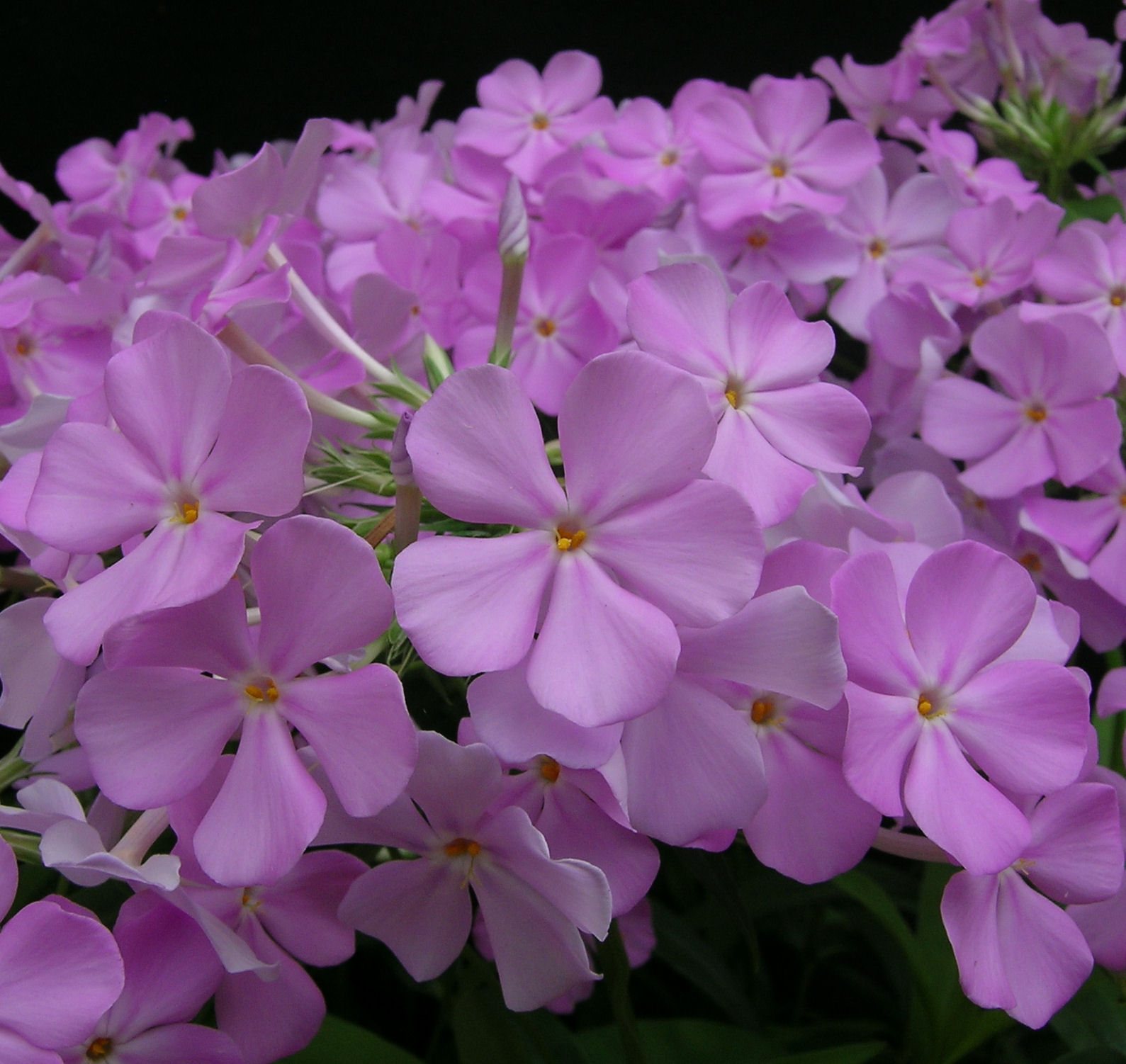 Phlox 'Rose Bouquet' flowers close-up
