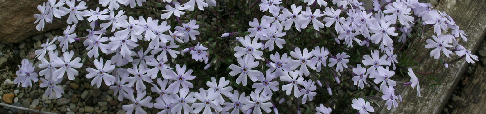 Phlox subulata 'Allegheny Smoke' at The Primrose Path'